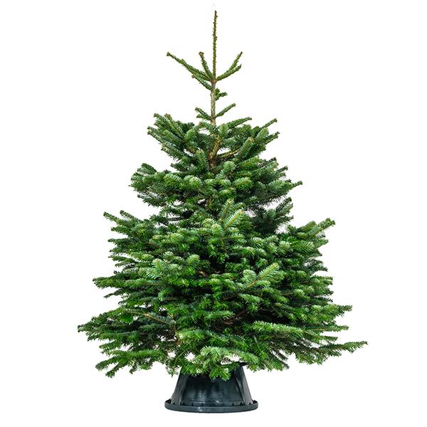 Nordmann Fir Real Christmas Tree